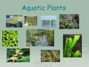 Aquatic Plants Aquatic Plants aqua means water Therefore