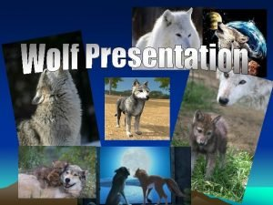 Types of Wolves Gray Wolf Timber wolf Red