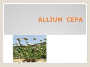 ALLIUM CEPA Habitat Anthropogenic manmade or disturbed habitats
