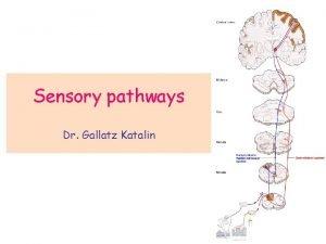Sensory pathways Dr Gallatz Katalin SENSORY PATHWAYS Spinothalamic