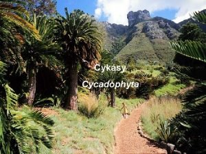 Cykasy Cycadophyta obecn charakteristika cykas deviny svm vzhledem