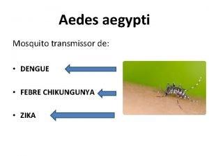 Aedes aegypti Mosquito transmissor de DENGUE FEBRE CHIKUNGUNYA