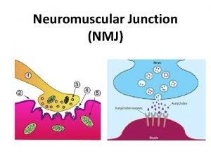 Neuromuscular Junction NMJ Neuromuscular junction Neuromuscular junction the