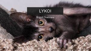 LYKOI Breed Overview ROCKEFELLER Creative Agency Presentation Photo