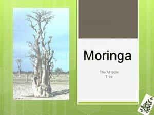 Moringa The Miracle Tree Moringa AKA Miracle Tree