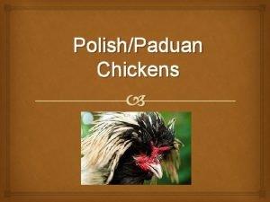 PolishPaduan Chickens Origin The true origin of the