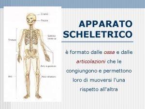 APPARATO SCHELETRICO formato dalle ossa e dalle articolazioni
