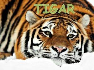 TIGAR RASPROSTRANJENOST Tigar ivi od Indije na istoku