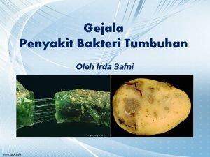 Gejala Penyakit Bakteri Tumbuhan Oleh Irda Safni Gejala