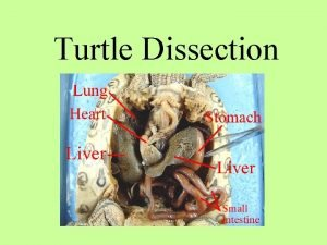 Turtle Dissection Scientists believe other land vertebrates evolved