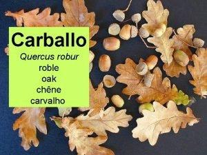 Carballo Quercus robur roble oak chne carvalho CLASE