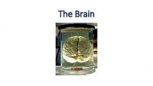 The Brain The Brain Wikipedia The brain is