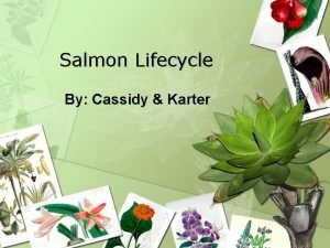 Salmon Lifecycle By Cassidy Karter Where Do Salmon