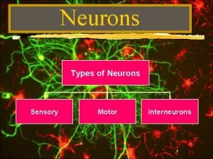 Neurons Types of Neurons Sensory Motor Interneurons 1