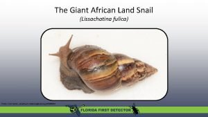 The Giant African Land Snail Lissachatina fulica Photo