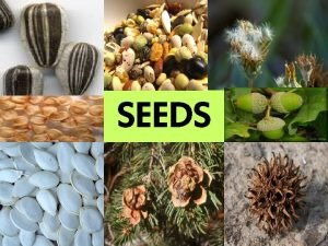 SEEDS Pollination Review Pollination Male sperm pollen contact