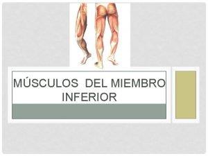 MSCULOS DEL MIEMBRO INFERIOR EXTREMIDAD INFERIOR Esta separada