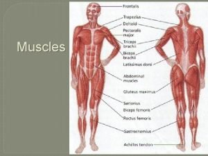 Muscles Interesting Muscle Facts 1 Thirty facial muscles
