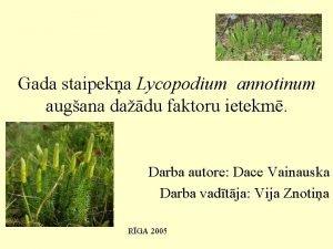 Gada staipeka Lycopodium annotinum augana dadu faktoru ietekm