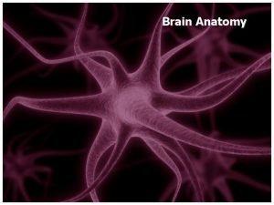 Brain Anatomy 120115 Brain Anatomy Key Question What