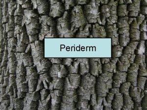 Periderm Periderm Phellogen cork cambium Phellem cork Phelloderm