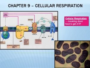 CHAPTER 9 CELLULAR RESPIRATION Cellular Respiration breaking down