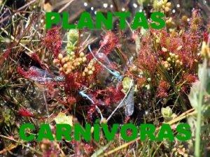 PLANTAS CARNVORAS Son plantas que obteen parte ou