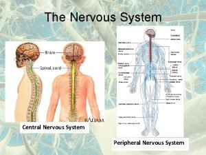 The Nervous System Central Nervous System Peripheral Nervous