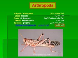 Arthropoda Phylum Arthropoda Class Insecta Order Orthoptera Genus
