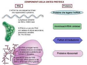 COMPONENTI DELLA SINTESI PROTEICA RNA Proteine che legano