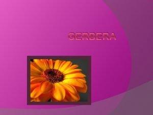 GERBERA Opis Gerbera je znma ako rezan kvet