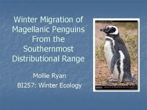 Winter Migration of Magellanic Penguins From the Southernmost