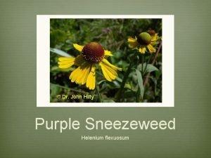 Dr John Hilty Purple Sneezeweed Helenium flexuosum Purple