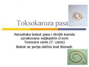 Toksokaroza pasa Parazitska bolest pasa i divljih kanida