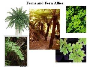 Ferns and Fern Allies Ferns and Fern Allies