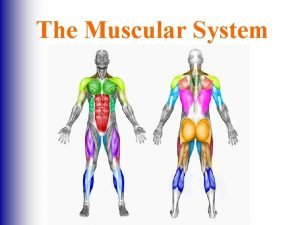 The Muscular System The Muscular System Myology The