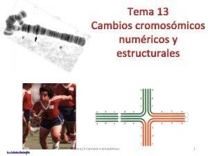 Tema 13 Cambios cromosmicos numricos y estructurales Dr