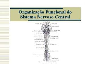 Organizao Funcional do Sistema Nervoso Central Sistema Nervoso