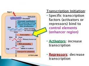 Transcription Initiation Specific transcription factors activators or repressors