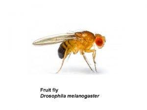 Fruit fly Drosophila melanogaster Fruit fly 180 Mb