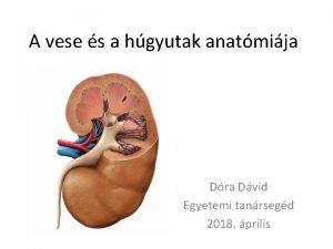 A vese s a hgyutak anatmija Dra Dvid