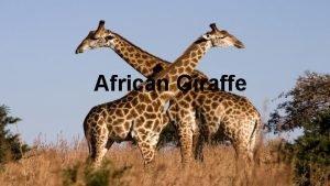 African Giraffe African Giraffe Worlds tallest mammals o