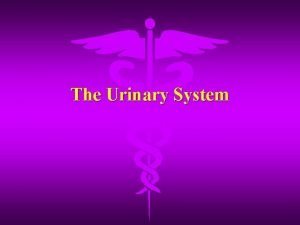 The Urinary System Functions of the System Urinary