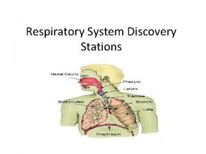 Respiratory System Discovery Stations 1 The Lungs InsideOutside