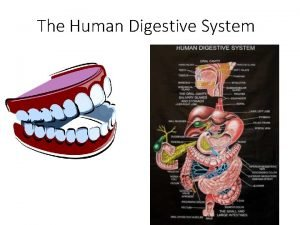 The Human Digestive System The Human Digestive System
