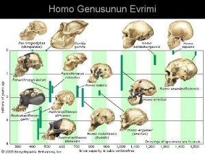 Homo Genusunun Evrimi nsan Yznn Evrimi Homo habilis