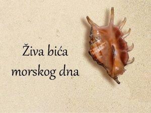 iva bia morskog dna Naziv morski sisavci se
