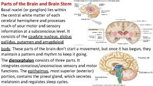 Parts of the Brain and Brain Stem Basal