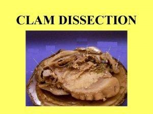CLAM DISSECTION CLAMS ARE Invertebrates no backbone Protostomes
