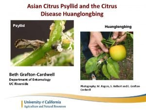 Asian Citrus Psyllid and the Citrus Disease Huanglongbing